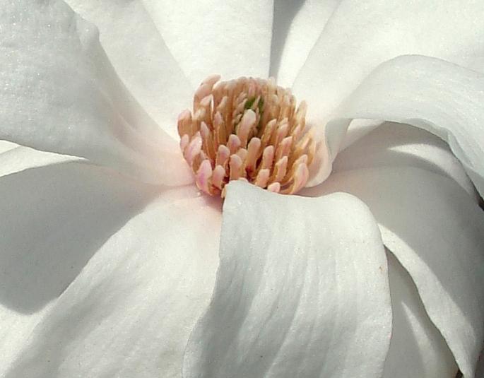 Magnolia2015c